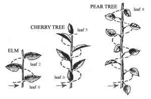 The fibonacci sequence in nature